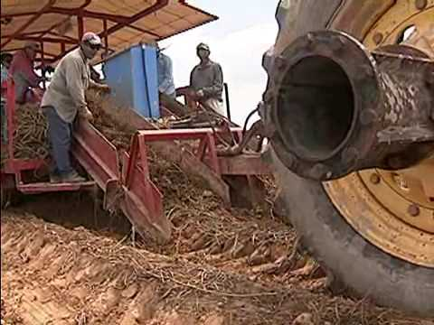 The Sweet Truth about Sweet Potato Production in Louisiana