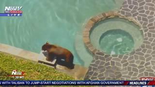 BEAR IN A POOL: Prior to running loose in Los Angeles-area neighborhood (FNN)