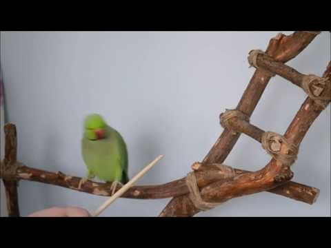 How to target train an Indian Ringneck Parrot