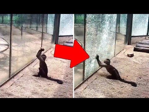 Affen in einem Zoo können Steine schärfen, um das Glas zu brechen und davonzulaufen