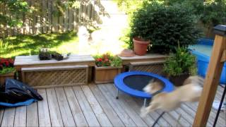Teddy Launching Off A Trampoline To Clear The Benches On Our Deck