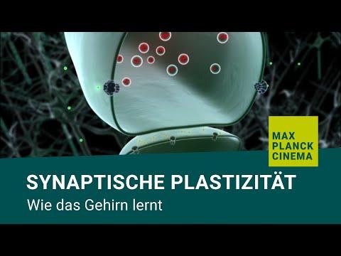 Synaptische Plastizität - wie das Gehirn lernt