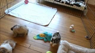 Zippy 6 Week Old Long Coat Male Mi-ki Puppy