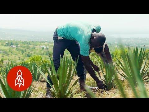 The Surprising Plant Helping Kenyan Farmers Prosper