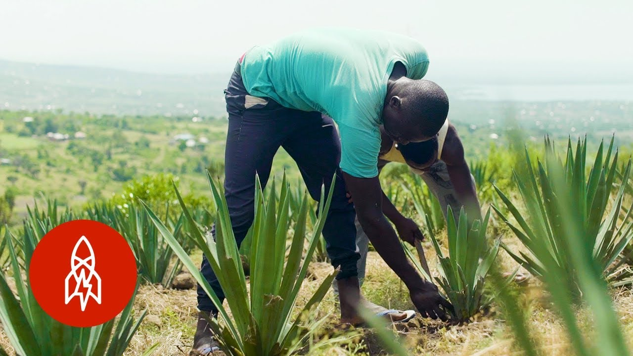 The Surprising Plant Helping Kenyan Farmers Prosper