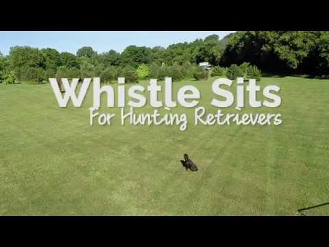 whistle-sits-for-hunting-retrievers---online-course