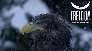 Freedom - An eagle takes flight (Teaser)
