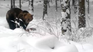 Неожиданные встречи в лесу. Медведь.Латвия. Январь. :)