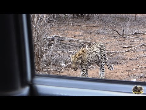 Close Encounter With A Leopard...