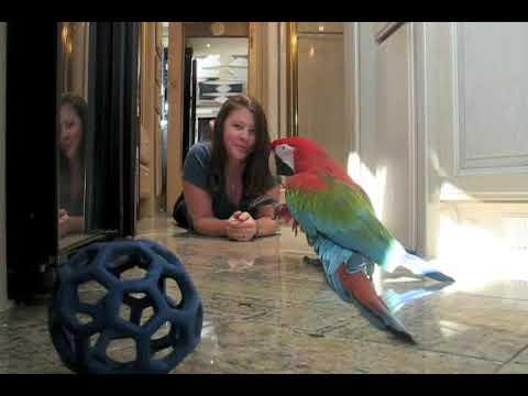 Playing Ball with a Greenwing Macaw