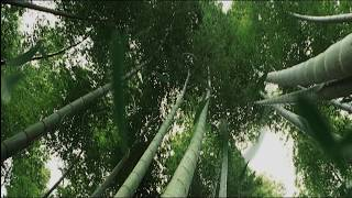 Green bamboo forest photography background bamboo  video background for video Maker