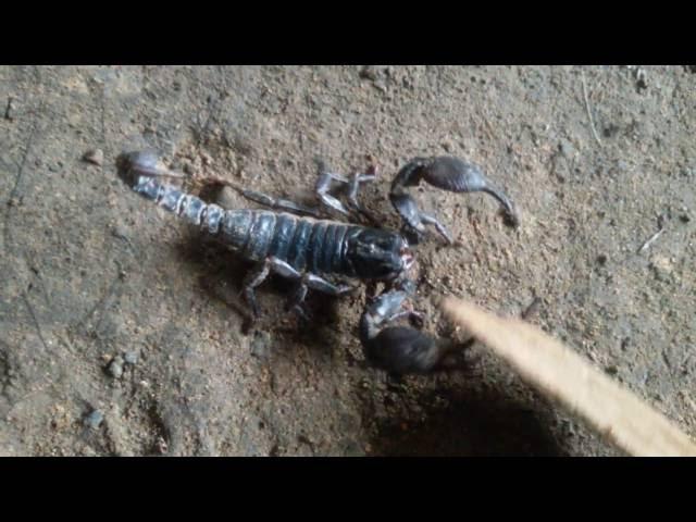 The scorpions tale  wildife documentary