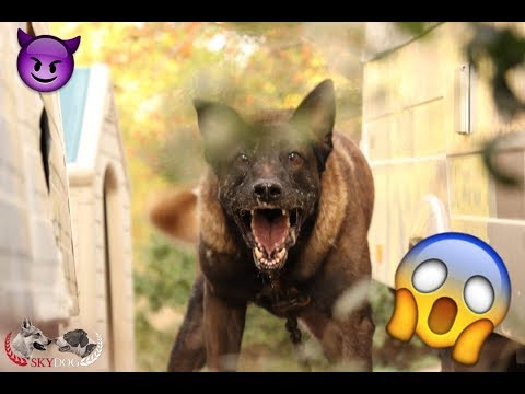 BIG MALINOIS VERY AGGRESSIVE // POLICE INTERVENTION
