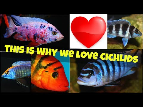 THIS IS WHY WE LOVE CICHLIDS! THE MOST POPULAR AQUARIUM FISH SPECIES