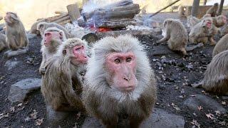 来年の干支(えと)・サルたちが炎の周りに集って暖を取る、冬の恒例行...