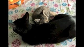 Kitten Snuggles Momma & Exercise With Kittens - #32 - Rescue Kittens Socialization