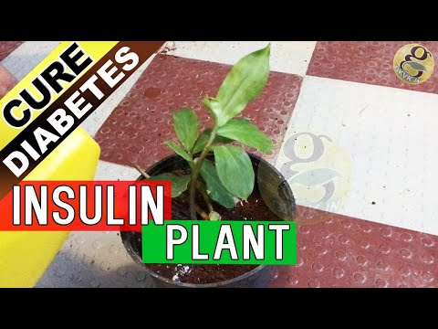 INSULIN PLANT - MAGIC treatment for Diabetes claimed by Ayurvedic Medicine