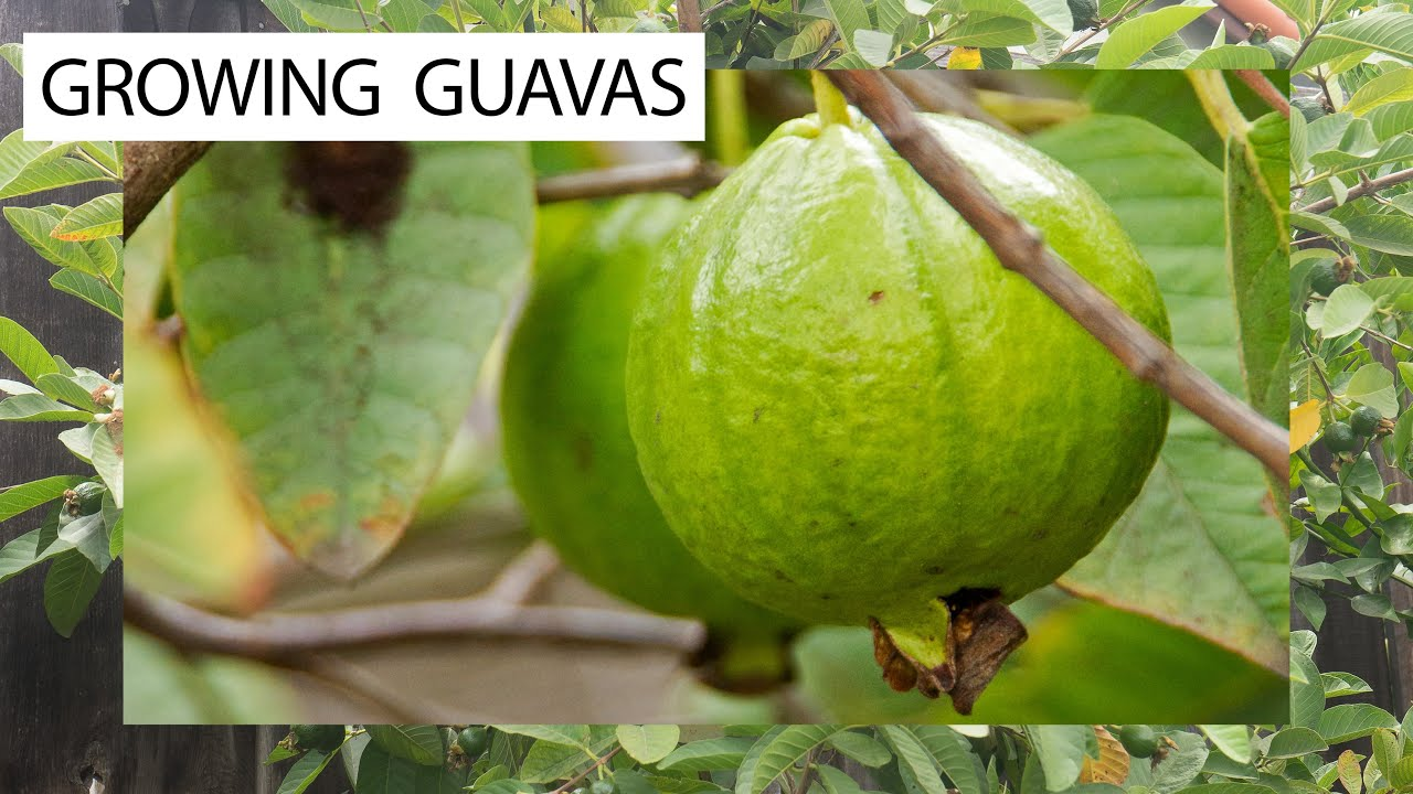 How to grow guavas 3 delicious guava varieties for you youtube ccuart Image collections