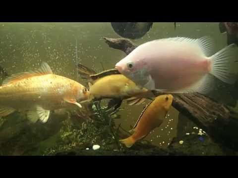 Deep - Fry - Aggressive Shaking of Dominant Male Electric Yellow Cichlid
