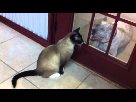 Cat Inside Dog Outside Secret Language By Pit Bull Sharky And Snowshoe Max Arthur