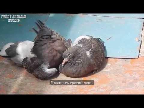 Голуби Птенцы голубей от рождения до месяца Голубиная сага 9 серия