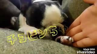 チョビンを中心にした3匹の犬たちの動画です!