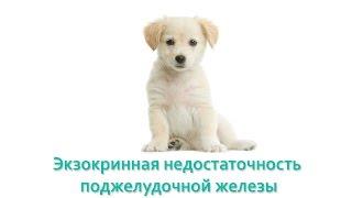 Экзокринная недостаточность поджелудочной железы у собак. Ветеринарная клиника Био-Вет.