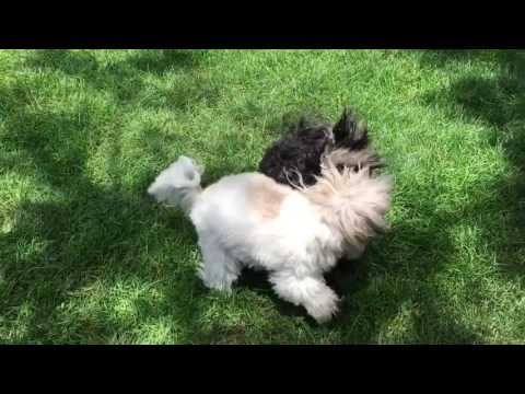 Havanese dogs playing in the park