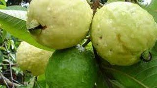 Técnicas de Cultivo de Guayaba - Producido Por Juan Gonzalo A…