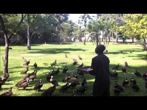 Vulture Feeding at the Senegambia Beach Hotel, Gambia