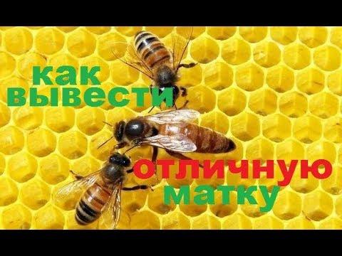 #Матка для #пчёл,  способ выведения сильной отличной матки . Как я получаю маток первой волны.