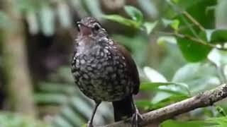 Download Lagu Tembakan burung ini bikin JURI sempoyongan dan cocok untuk kacer murai batu cucak ijo mp3