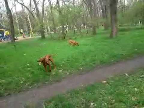 Pitbull VS Dogue de Bordeaux,Rhodesian Ridgeback , Labrador и мельком Mops