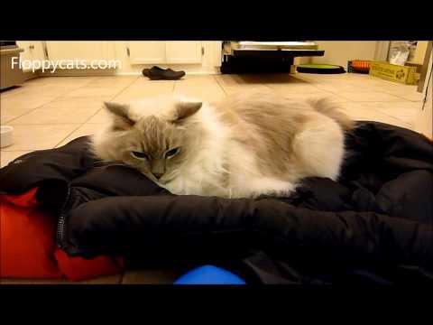 Ragdoll Cat Trigg Having Crazies on Puffy North Face Jacket - ねこ - ラグドール - Floppycats