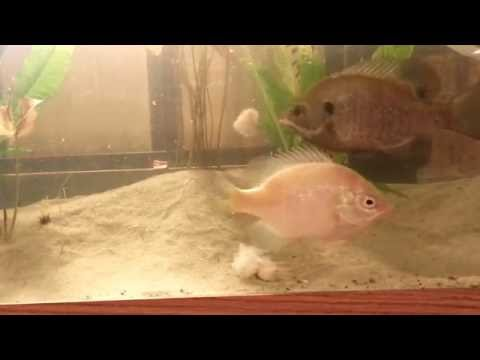 Feeding shrimp to a blue crab, catfish, and 2 sunfish