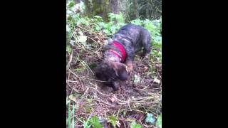 Max, A 9 Months Old Wire-haired Dachshund, Goes Hunting.