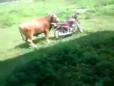 Bò nhảy đực với xe máy |2banh|