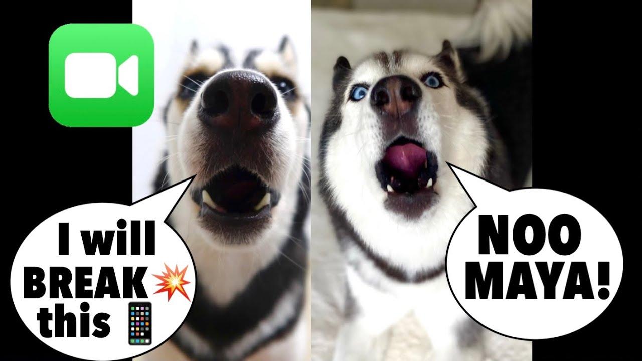 Meeka FaceTimes Maya The Husky (THEY ARGUE & MAYA ALMOST BROKE THE PHONE!) 😱👀