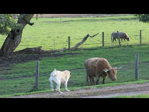 Dog scolding cow for eating over fence.