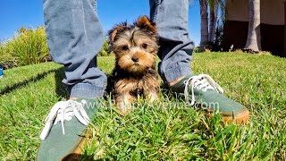 Bandit The Perfect Yorkshire Terrier Male Puppy For Sale Near Escondido, Ca