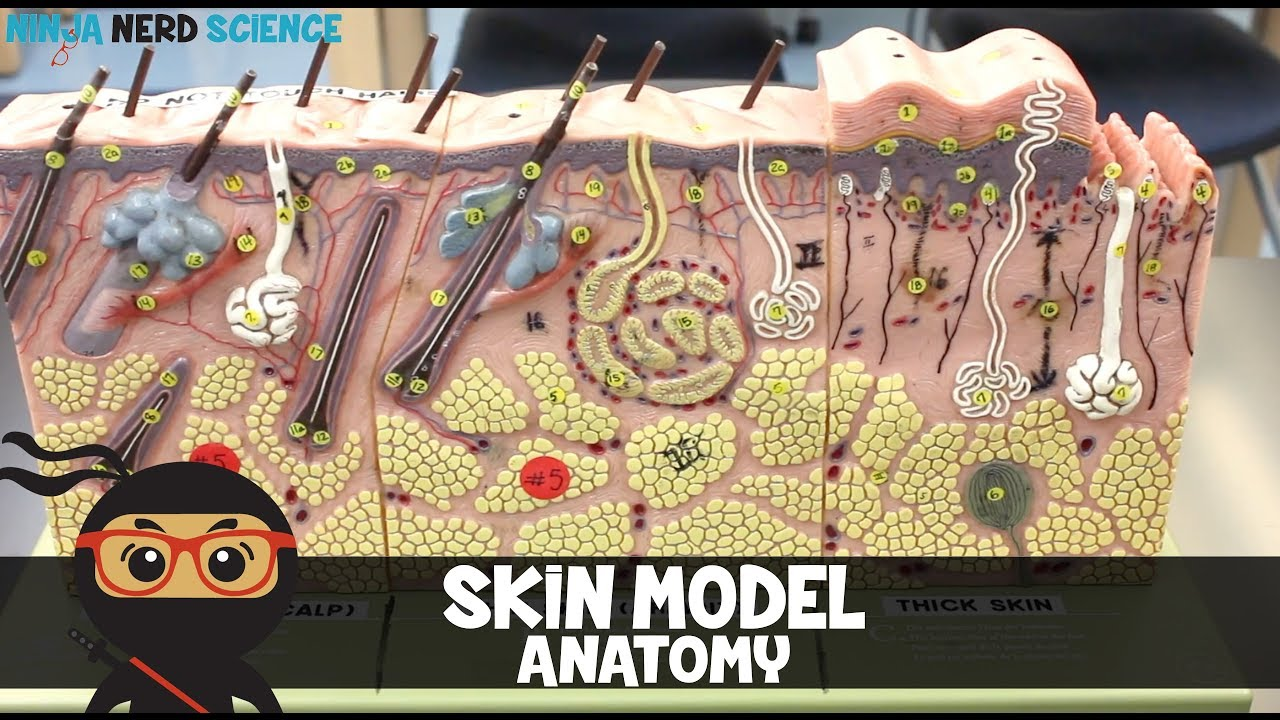 Skin Model Anatomy Youtube