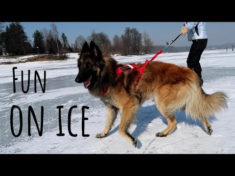 Ice Skating with Dog - Pulling / Tricks / Obedience / Fetch