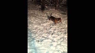 Peanut, A Dachshund/beagle Mix, Goes Crazy In The Snow