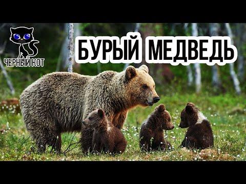 Вопрос: Сообщение о буром медведе, как написать?
