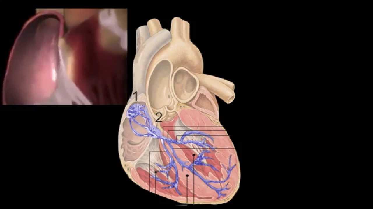 Corazón, Anatomía y Fisiología - YouTube