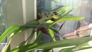 ODONTOGLOSSUM ORCHID - ANGRY WASP