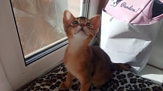 Котёнок, которого невозможно наказать | домашняя обезьянка