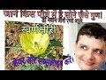 Medicinal importance of Argemone maxicana/Prickly Poopy/Peela Dhatura/Satyanashi