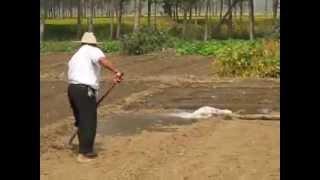 Planting Garlic 栽蒜