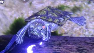【Chia Hao】 巴西龜食小蝦乾 龜缸 魚龜共存